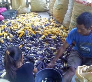 Maíz amarillo y azúl. Chiapas. México