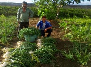 Héctor y José cosechando cebolla libre