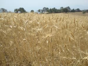 Campo de trigo 1
