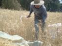 Cortando trigo
