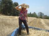 Graciela. La Trilla. Pisando el trigo