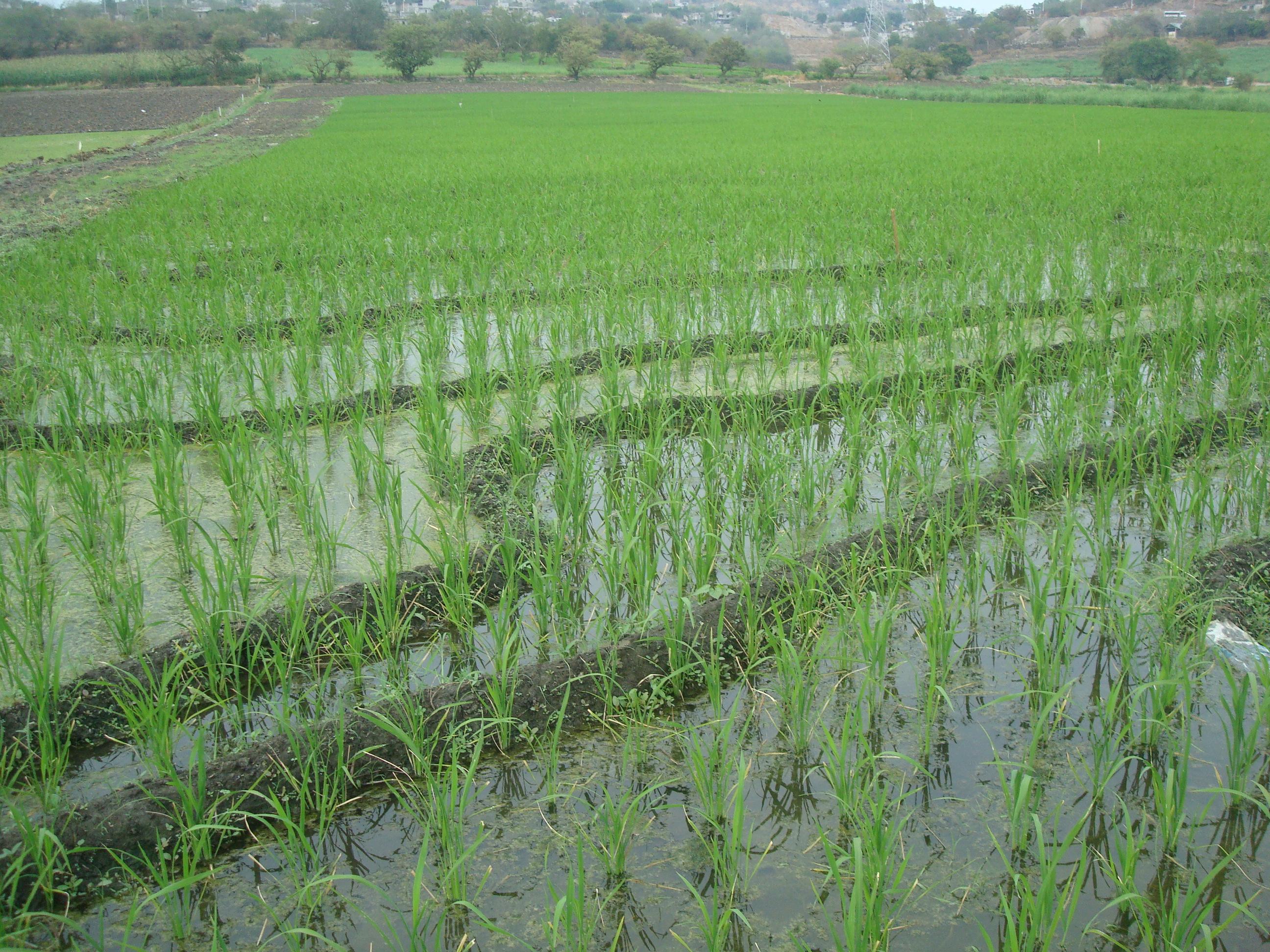 Nueva compra comunitaria de arroz integral libre m xico for Produccion de plantas ornamentales pdf
