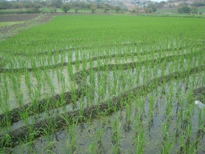 Campo de arroz