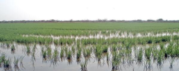 Campos arroz pijije 1