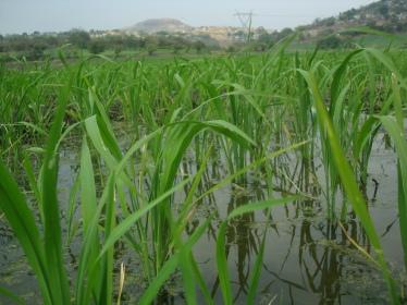 PLantas de arroz