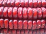 Maíz Rojo