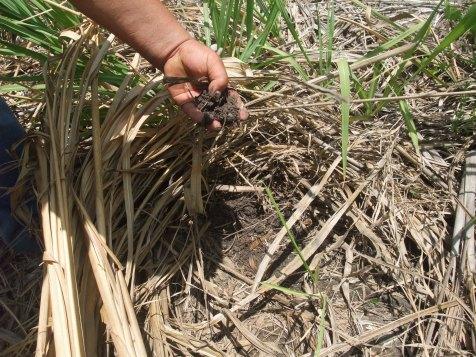 Calidad del suelo protegido por la caña seca