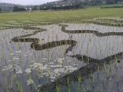 Campo de arroz en mayo 1