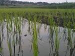 Plantitas de Arroz enMayo