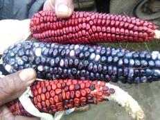 maices-de-colores